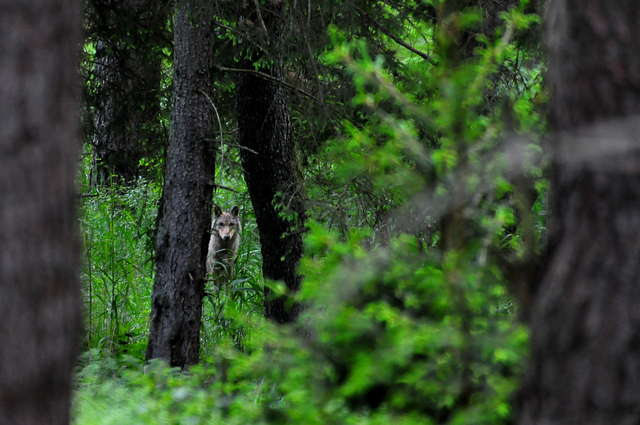 Oko w oko z wilkiem w puszczy pod Olsztynem - full image