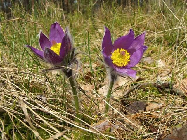 Niebieskie kwiaty sasanki przypominają klejnoty w ubogim runie borów sosnowych - full image