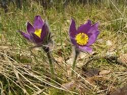 Niebieskie kwiaty sasanki przypominają klejnoty w ubogim runie borów sosnowych
