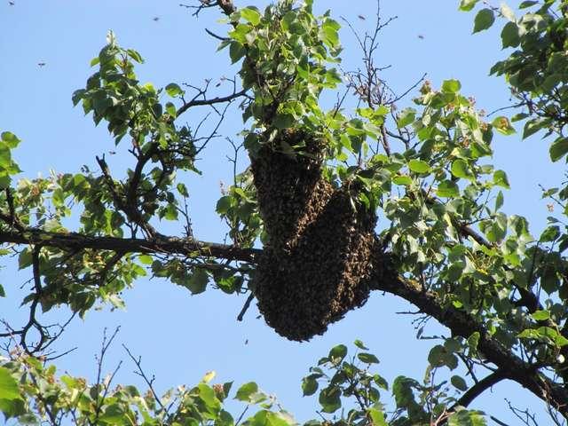 Rój pszczół umościł się na lipie, rosnącej tuż przy ruchliwej ulicy - full image