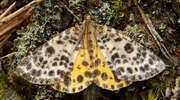 Przylepek moczarek, czyli płochliwy jak motyl