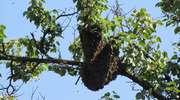 Olsztyn: pszczoły lubią miasto