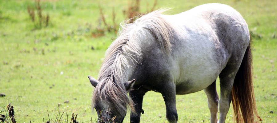 Gospodarze Lucyna i Andrzej Ciesielscy mogliby mówić o koniach w nieskończoność. Są mądre, mają dobry kontakt z ludźmi. O każdym pupilu wiedzą wszystko.