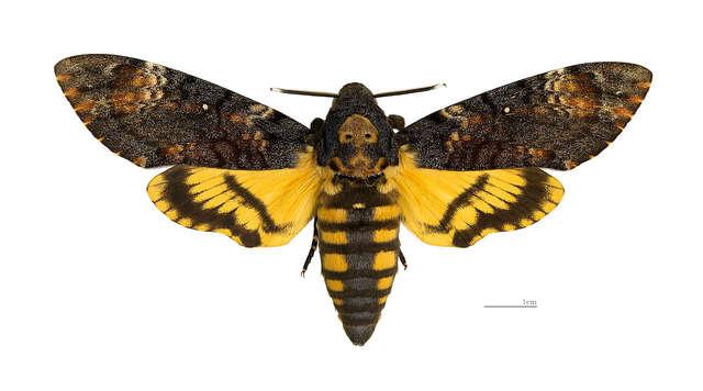 O motylu co trąbi, ludzi straszy i miód pszczołom podbiera  - full image