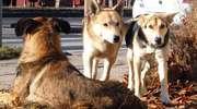Myszyniec: Problem bezpańskich psów wraca jak bumerang