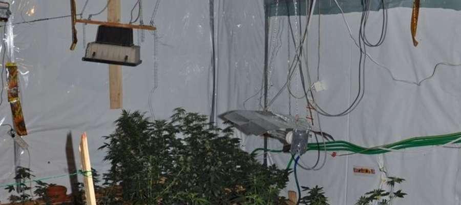 Policjanci CBŚ w piwnicy jednego z lokali gastronomicznych zlikwidowali plantację konopi