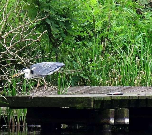 Czapla siwa na brzego Jeziora Nidzkiego - full image