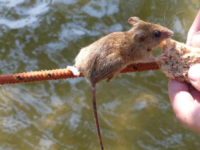 Myszy na Czarciej Kępie od razu po rzuceniu cumy próbują dostać się na pokład jachtu - full image