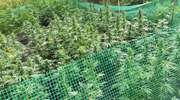 Las pełen marihuany