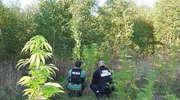 Plantacja konopi w lesie, długopisy w pocisku z moździerza