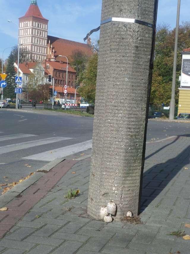 W Olsztynie, kanie rosną nawet przy latarniach.