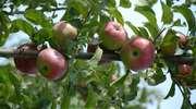 Uwaga producenci warzyw i owoców: mija termin składania wniosków
