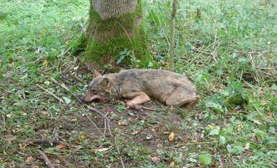 Leśnicy uratowali wilka, który zaplątał się we wnyki