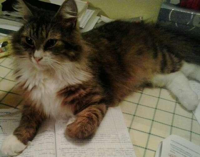 Zaginął kot. Właściciele proszą o pomoc - full image