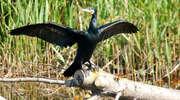 Rezerwat kormorana czarnego i czapli siwej w Kątach Rybackich