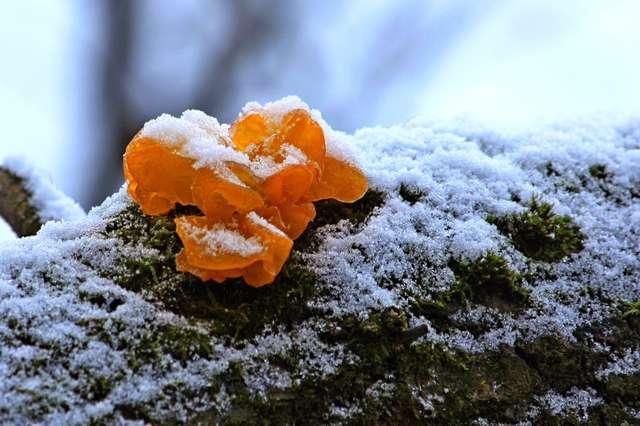 Trzęsak pomarańczowożółty - full image
