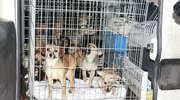 Ponad 30 psów na posesji. Właścicielka dostała zarzut znęcania się nad zwierzętami