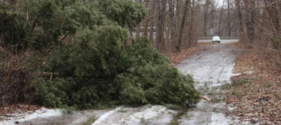 Przewrócone drzewo na drodze dojazdowej z ulicy Obwodowej do wzgórza św. Brunona