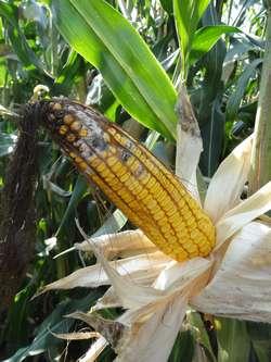 Fuzarioza kolb kukurydzy