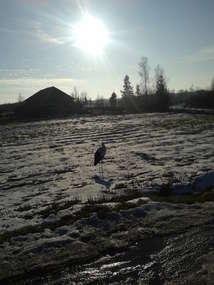 Bocian zimuje w Wiewiórkach
