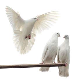 Wypuszczenie gołębi na ślubie ma symbolizować szczęście i trwałość związku.