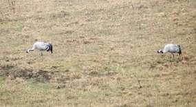 Dźwierzuty: żurawie kochają Warmię i Mazury