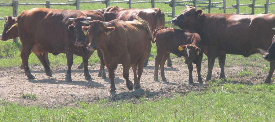 Przy intensywnym wypasie pastwiska wiosną obsada zwierząt powinna wynosić około 6 krów na 1 ha, a latem około 4 krów na 1 ha.