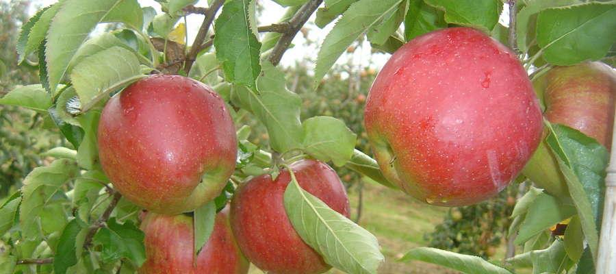 Pielęgnacja i cięcie drzew owocowych to pierwsze zabiegi w nowym sezonie.