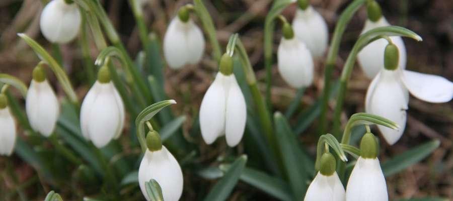 Przebiśniegi i inne kwiaty