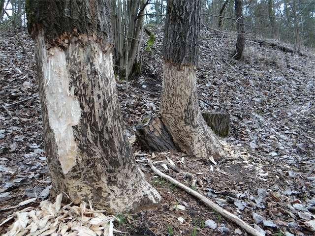 Te drzewa raczej nie przyżyją - full image