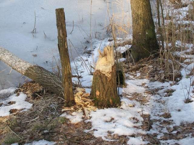 Bobrowe zgryzy nad jeziorem Piecuch - full image