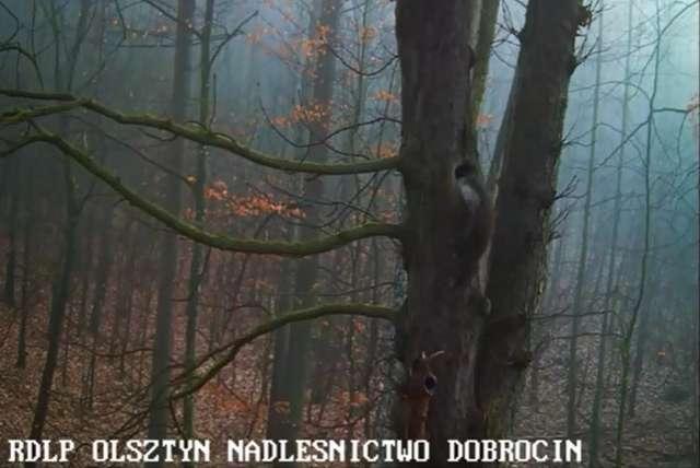 Kadr z filmu - kuna zakrada się do dziupli puszczyków - full image