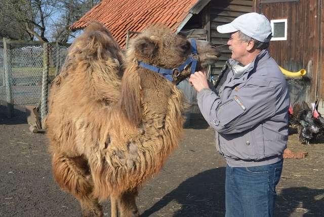 Wielbłądzica Marysia pozbywa się zimowego futra  - full image