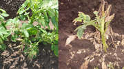 Ochrona plantacji ziemniaka przez chwastami