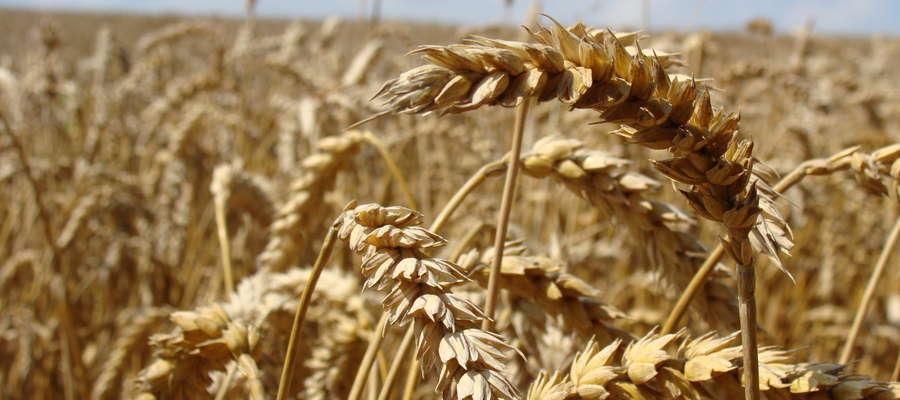 Dopłaty do kwalifikowanego materiału siewnego mają charakter pomocy de minimis w rolnictwie, która nie może przekroczyć 15 tysięcy euro w ciągu trzech lat podatkowych