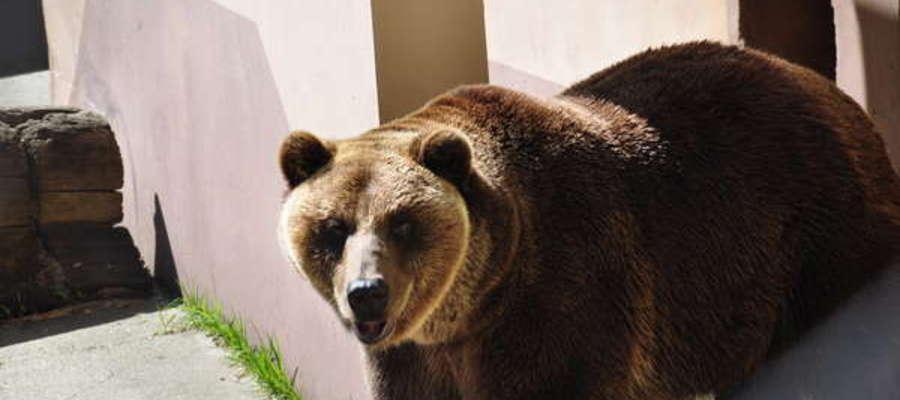 Niedźwiedzie z Braniewa trafią do Poznania