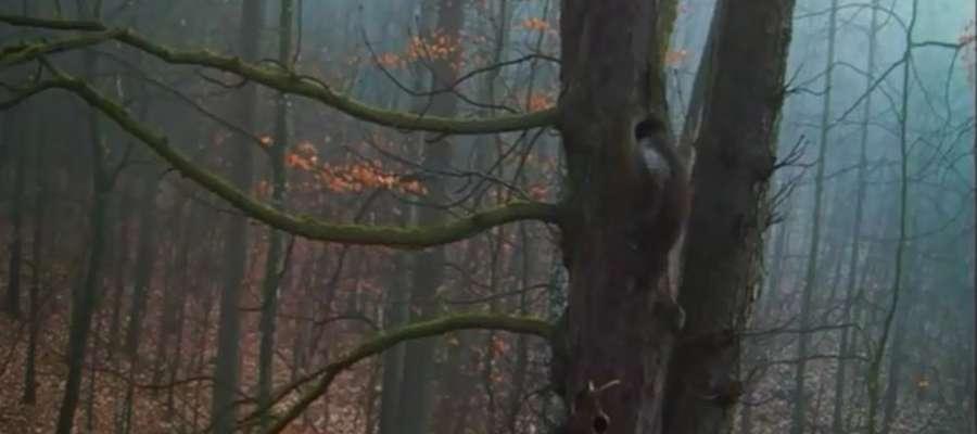 Kadr z filmu - kuna zakrada się do dziupli puszczyków