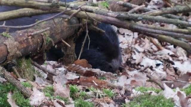 Bóbr, który odwiedził mrągowski Mlekpol ważył około 12-15 kilogramów. Pod zakład przywędrował prawdopodobnie z okolic pobliskiego jeziora.