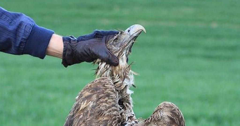 Ktoś Truje Chronione Ptaki Drapieżne Bartoszyce