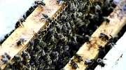 Pszczoły też chorują i proszą o zmiłowanie