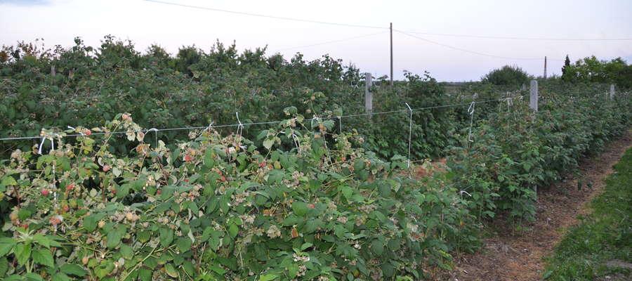 Chore rośliny mogą rozwijać się do trzech lat. Zamieraniu ulegają pojedyncze pędy lub całe karpy roślin