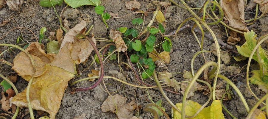 Nowe siewki barszczu Sosnowskiego wyrastające w miejscu po usunięciu dojrzałych okazów tej rośliny