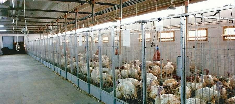 Okres odchowu determinowany jest, nie tylko płcią, ale przede wszystkim zapotrzebowaniem zakładów ubojowych na określoną masę ptaków oraz relacją ceny żywca do cen pasz