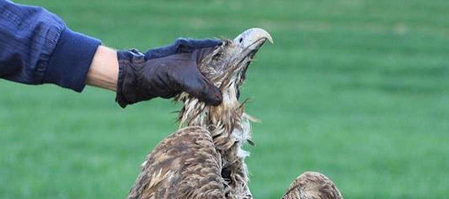 Martwe ptaki drapieżne, parę orłów lub bielików znaleźli dziś mieszkańcy jednej z wsi w gminie Bartoszyce.