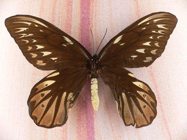 Motyl Królowej Aleksandry i jego paź  - full image