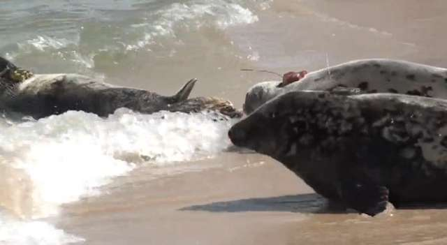 Neptun, Norda i Natka wypuszczone do Bałtyku. Naukowcy będą śledzić foki dzięki nadajnikom - full image