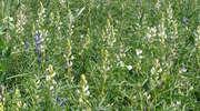 Rola roślin strączkowych we współczesnym rolnictwie