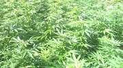 Między porzeczkami zasiał marihuanę