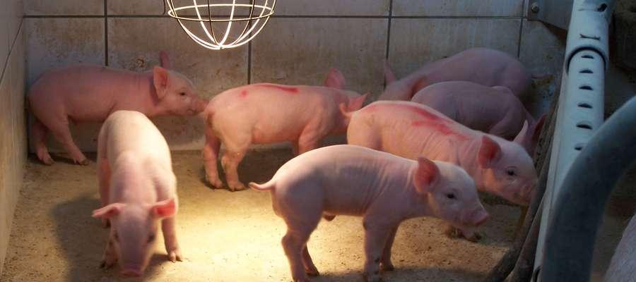 Ozonowanie w hodowli zapobiega chorobom zakaźnym zwierząt i usuwa przykre zapachy