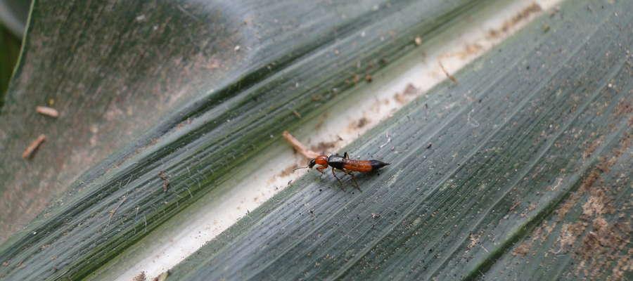 Chrząszcze kusakowate atakują różne szkodniki, m.in. mszyce i wciornastki